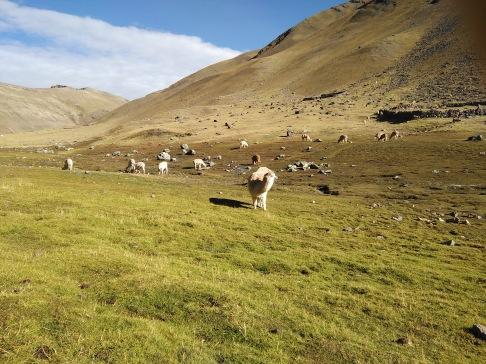 More alpacas. Or llamas?