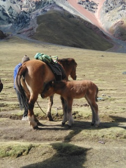 This baby horse followed its porter mom all the way up and down this mountain! He is two weeks old, so that explains why...