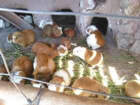Guinea pigs... mainly bred for eating