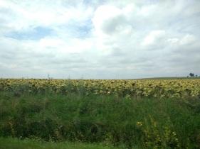 Sunflower fields in Slovakia