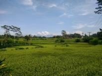 Beautiful rice paddies in Ubud