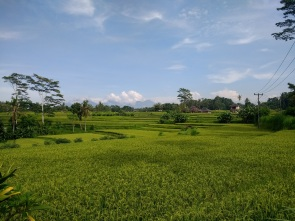Beautiful rice paddies in Ubud